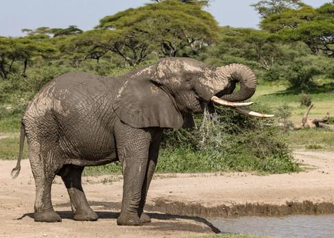 Elephant drinking Tanzania Photography Safari