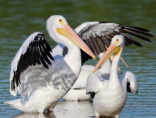 White Pelican Sanible Island
