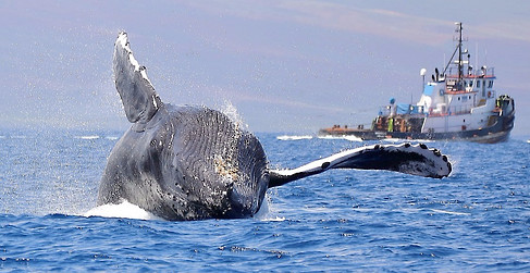 Humback Whale Breach Maui