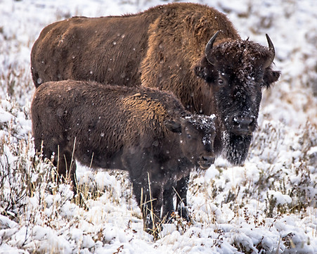 Bison Yellowstone National Park