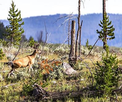 Deer Yellowstone National Park