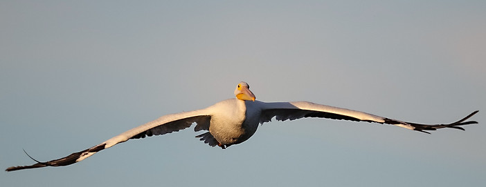 White pelican in flight Sanibel Island