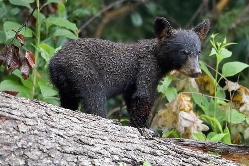 Black Bear Cub on Log Great Smoky Mountains National Park