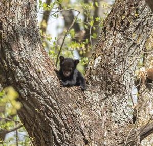 Smoky Mountain Photography Workshop Bears
