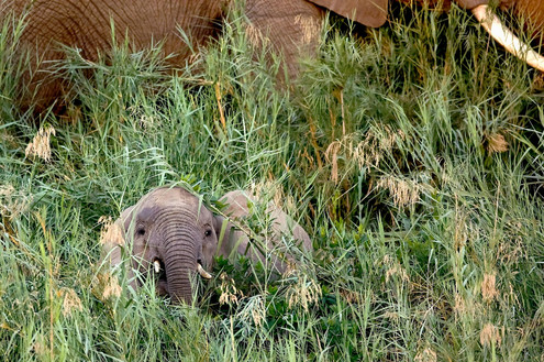Elephant in Grass South Africa