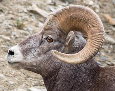 Ram Profile Glacier National Park