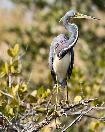 Heron Florida