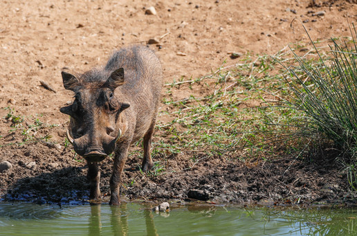 Wort Hog  South Africa Safari Tripod Travelers