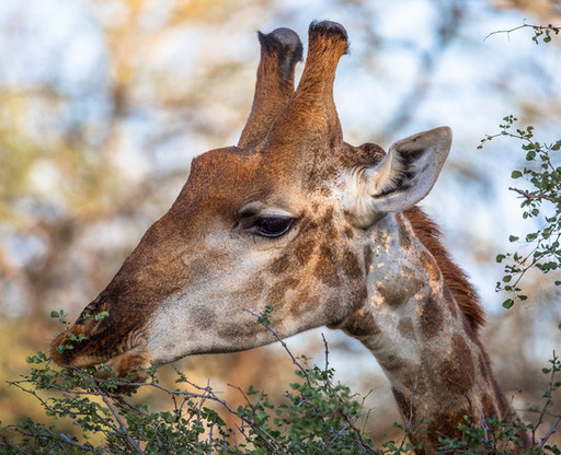 Giraffe  South Africa Safari Tripod Travelers