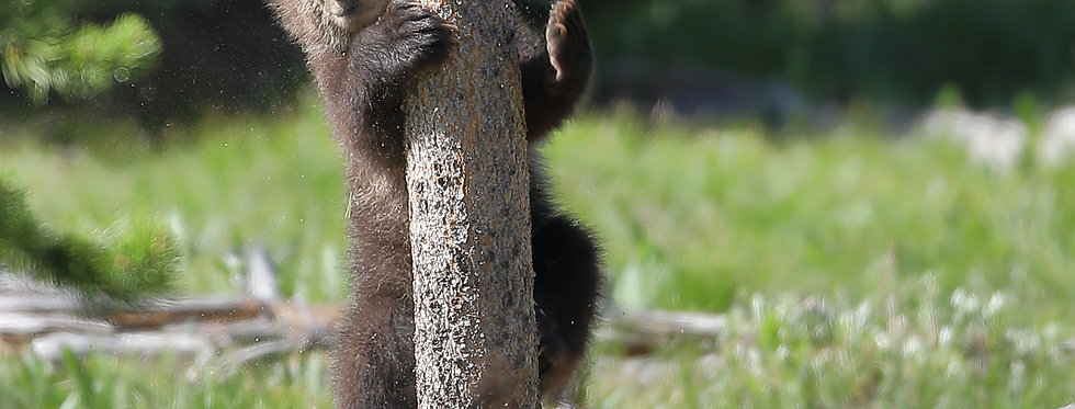 Grizzly Cub climbing tree Grand Teton National Park Photography Workshop learn wildlife nature photography