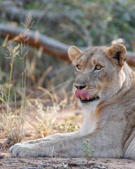 Lioness  South Africa Safari