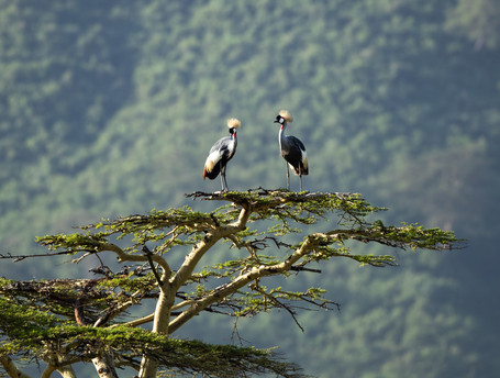 Grey Crowned Crane Tanzania Photography Safari