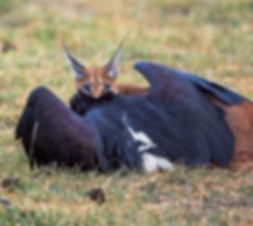 tanzania wildlife photograhy safari caracal