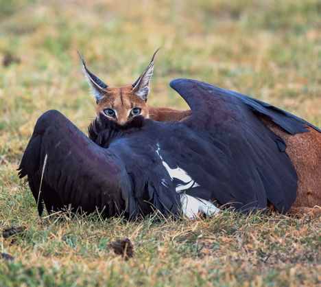 tanzania wildlife photograhy safari caracal