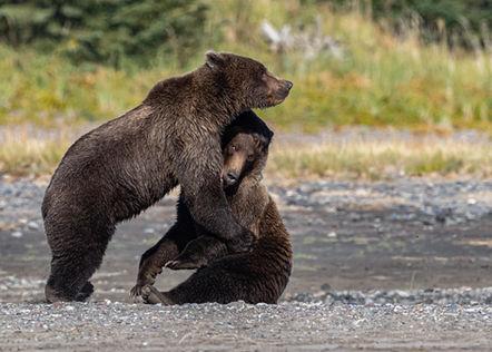 Alaksa Brown Bears Fighting