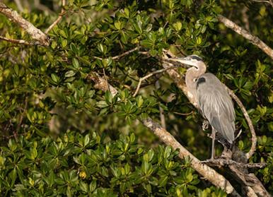 Great Blue Heron Everglades Flamingo Everglades