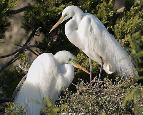 Egret wildlife photography workshop Savannah GA