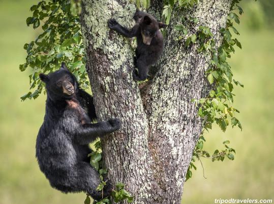 Black Bear Great Smoky Mountains Photography Workshop