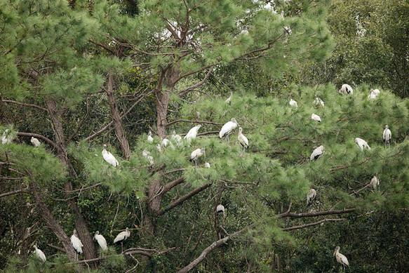 Nesting Wood Storks Savannah GA