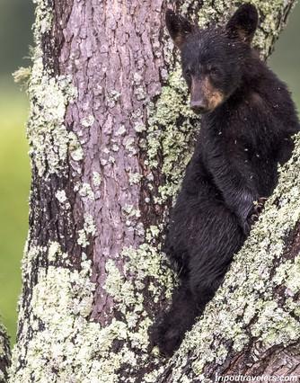Cades Cove Smoky Mountains Black Bear