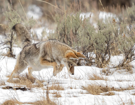 Coyote Yellowstone National Park Workshop