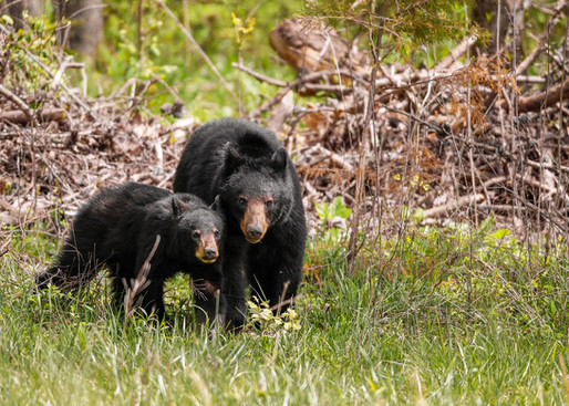 Black Bear and Cub Great Smoky Mountains