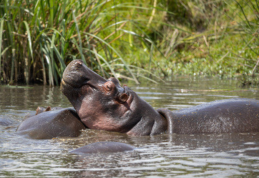 Hippo Tanzania Photography Safari