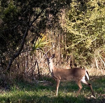 Glossy Ibis Deer Wildlife Photography Workshop