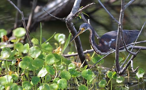 tri color egret hunting Venice Florida