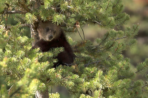 Grizzly Cub Grand Teton National Park