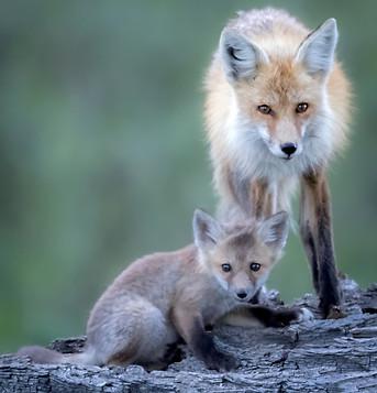 Fox and Kit Grand Teton National Park
