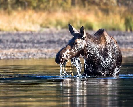 Moose Fishercap Lake Glacier National Park