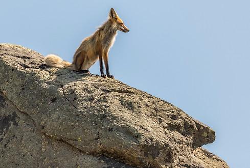 Fox Yellowstone National Park