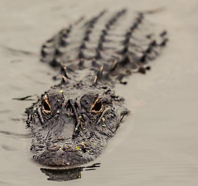 Alligator Savannah GA