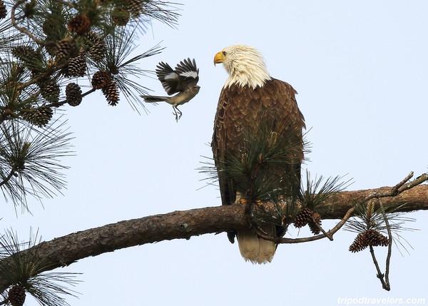 Eagle and Mocking Bird