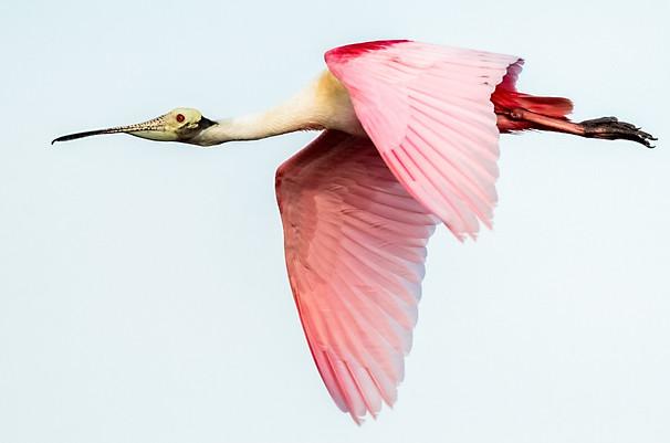 Rosate Spoonbill Flying