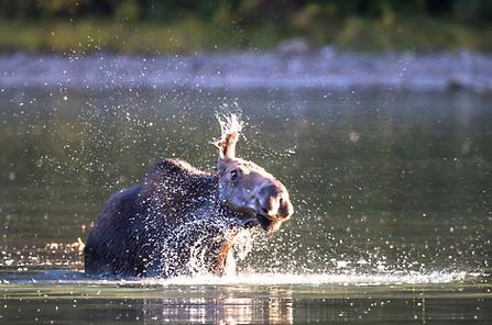 Moose in Water Glacier National Park
