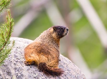 Marmot Yellowstone National Park