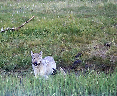 Wolf Yellowstone National Park