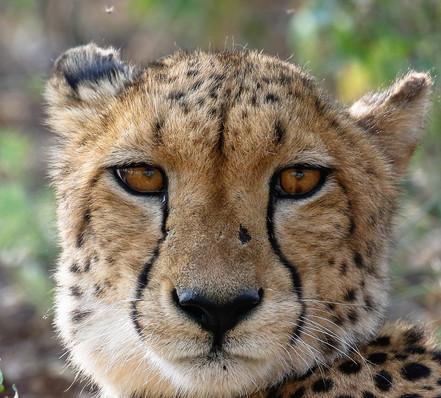 Female Cheetah Cheetah South Africa Photography Workshop Safari