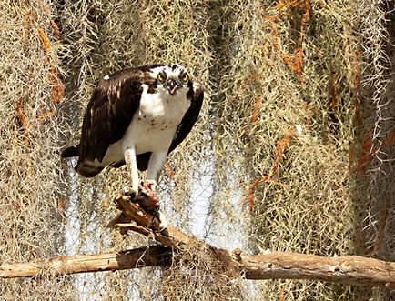Osprey Eating Fish Florida