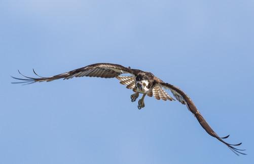 Osprey in flight Photography Workshop