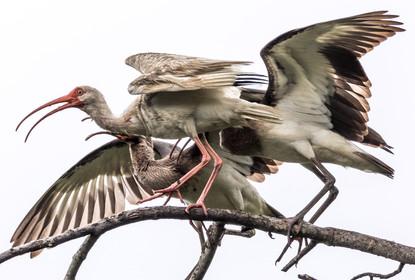 Ibis Feeding Fledgling Savannah, GA