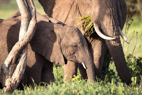 ElephantTanzania Photography Safari