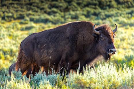 Female Bison Hayden Valley Yellowstone National Park