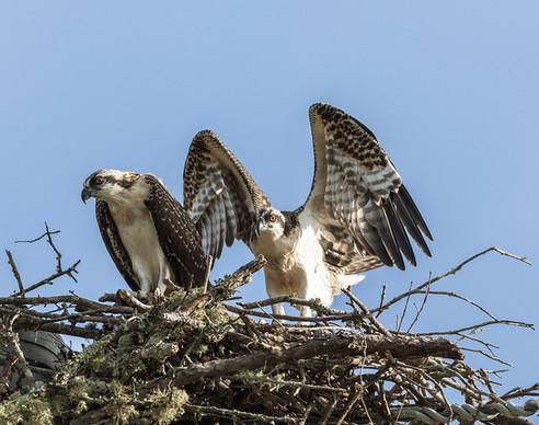 Osprey and Fledglings Georgia