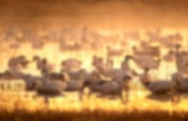 Snow Geese Bosque Del Apache Photography Workshop