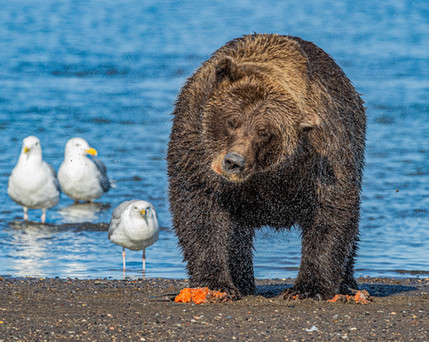 Alaska Brown Bear Photography Workshop