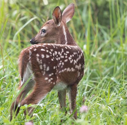 Deer Fawn Smoky Mountain National Park