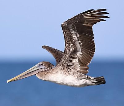 Brown Pelican Sanibel Island